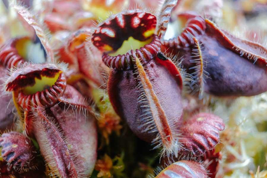 Cephalotus pěstovaný pod LED