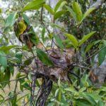 Hnízdo agresivních mravenců na keři