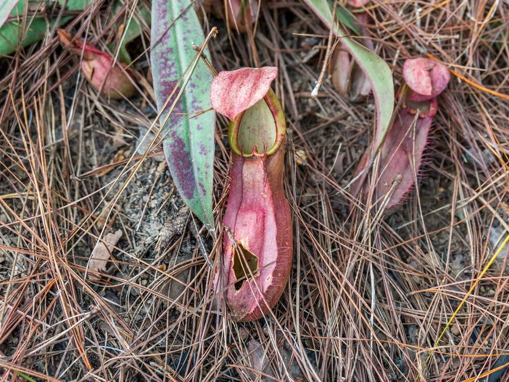Láčka Nepenthes smilessi s vyhlodaným otvorem
