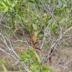 Nepenthes kampotiana šplhající po keři