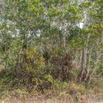 Obrovský trs láčkovek Nepenthes kampotiana