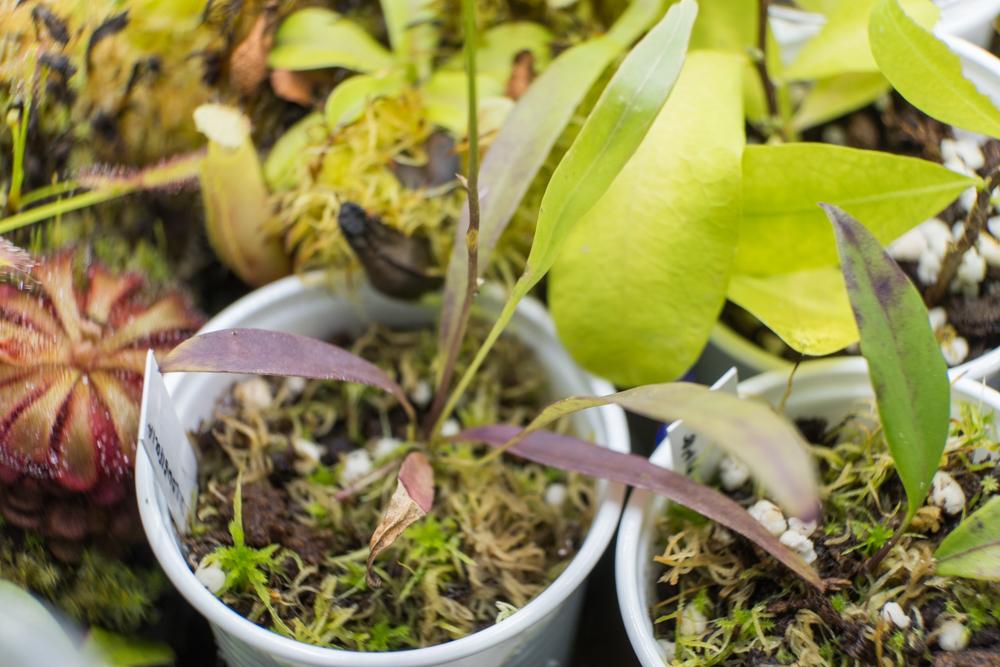Utricularia longifolia velmi rychle změnila barvu ze svěže zelené na fialovou