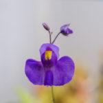 Utricularia longifolia a její nádherný květ