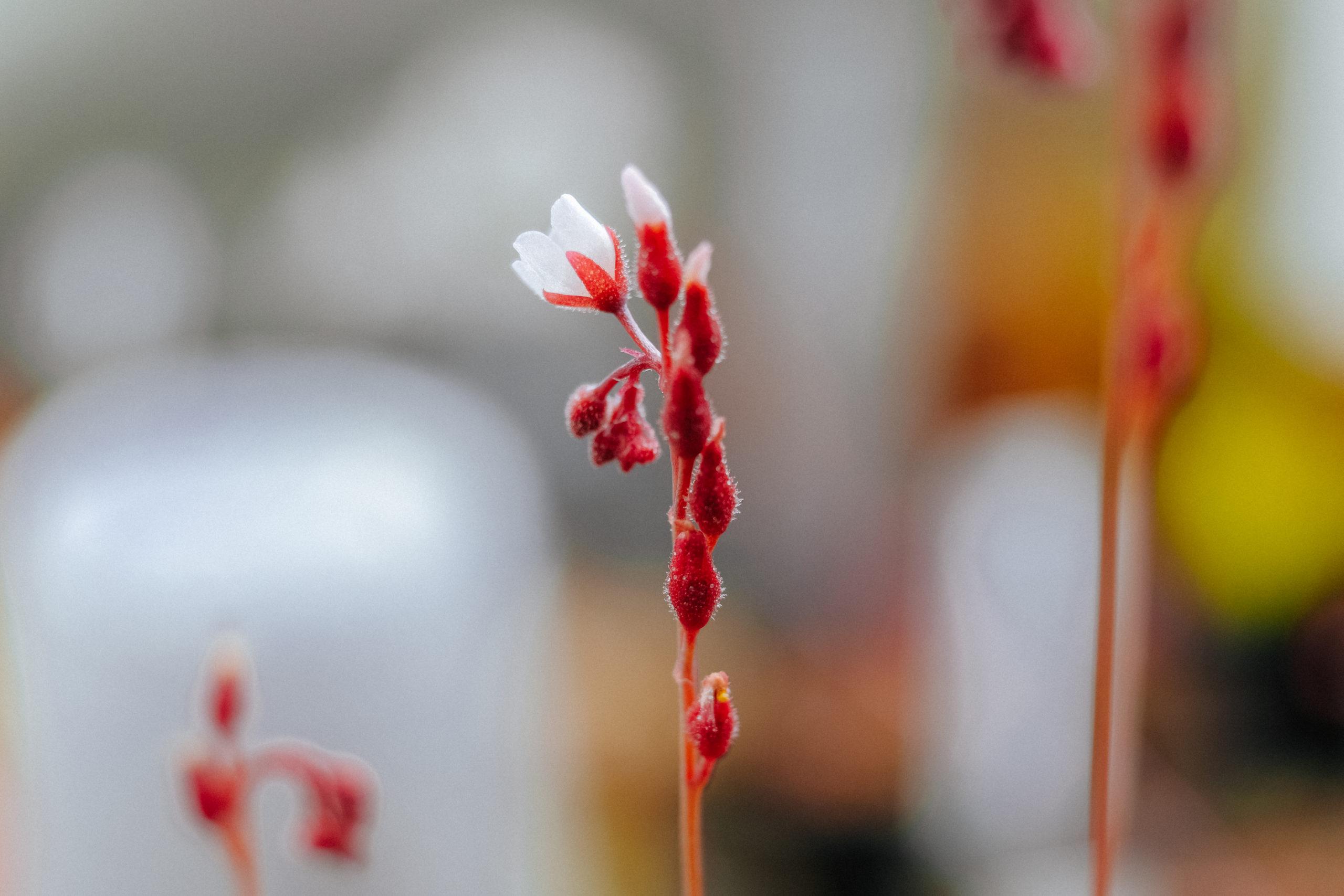 kvet-rosnatky-drosera-burmannii