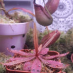 Drosera adelae