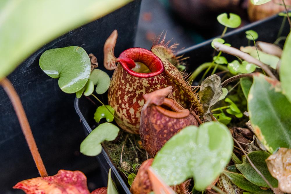 Láčkovka ve sklenících botanické zahrady UP