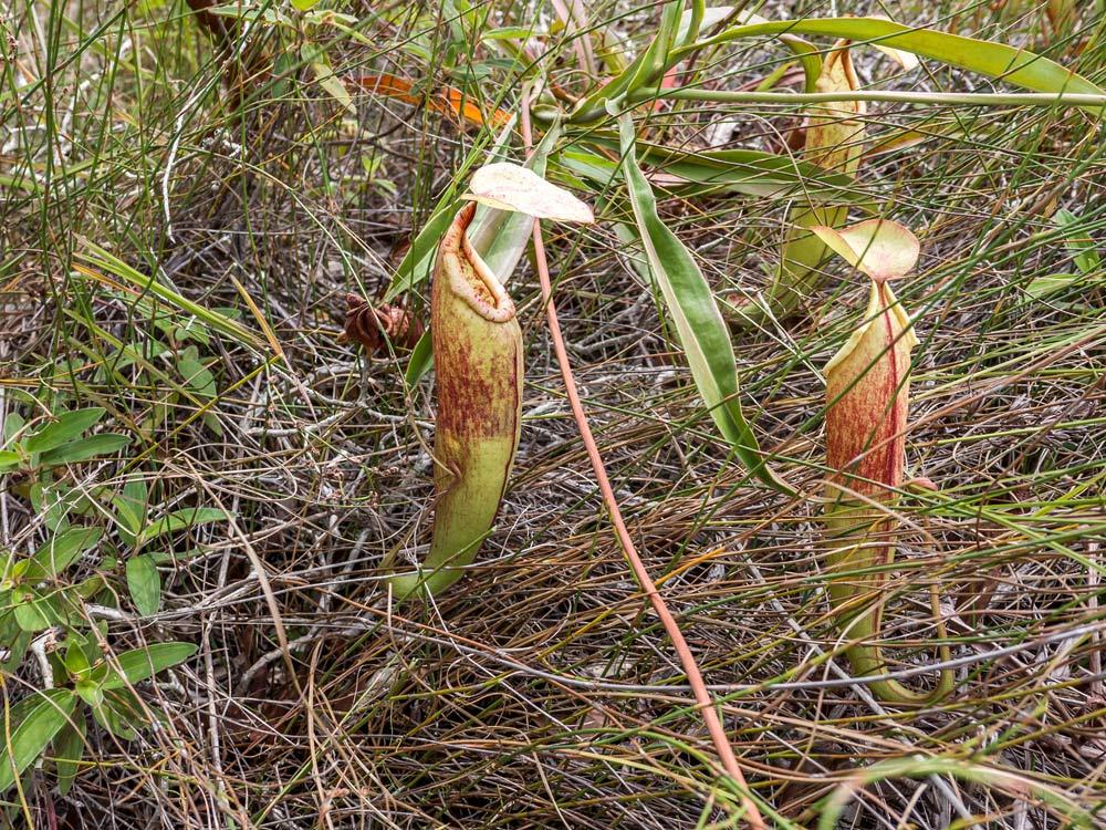 Obrovské láčky Nepenthes kampotiana