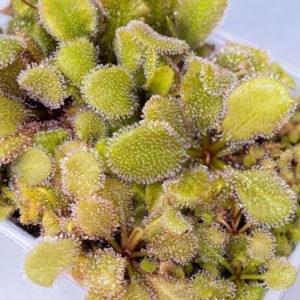 Drosera 'Andromeda' (schizandra x prolifera) - 3+ rostliny