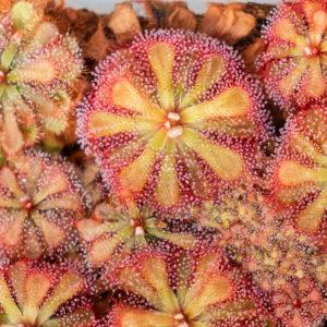 Drosera esterhuyseniae x Drosera slackii - 3+ rostliny