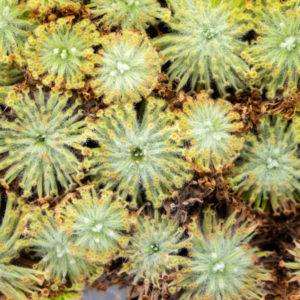 Drosera aff. lanata - 3+ rostliny