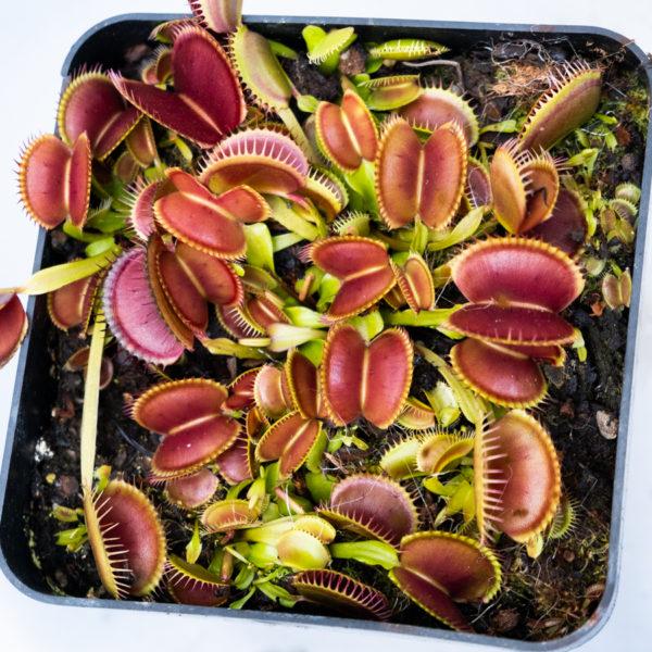 Dionaea muscipula 'B52' - 3+ rostliny