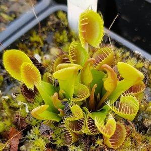 Dionaea muscipula 'Cupped Trap' - 3+ rostliny