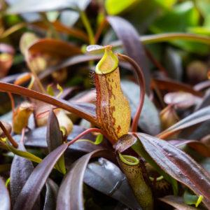 Nepenthes ceciliae - 1 rostlina