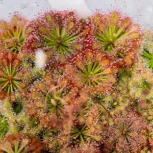 Drosera roraimae - 3+ rostliny