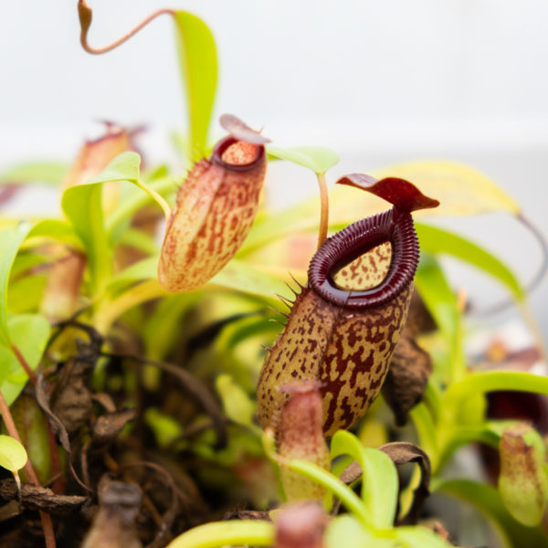 Nepenthes aristolochioides x ventricosa - 2+ rostliny