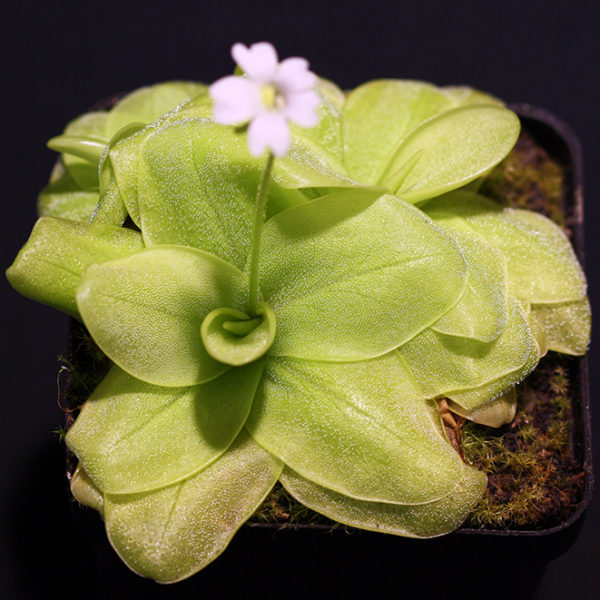Pinguicula chilensis x P. chuquisacensis - 2+ rostliny