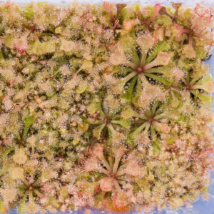 Drosera rubrifolia