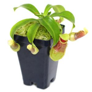 Nepenthes burkei - 3+ rostliny